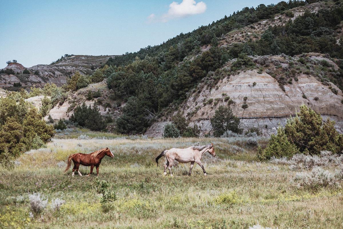 Vilda hästar i Theodore Roosevelt National Park - North Dakota USA