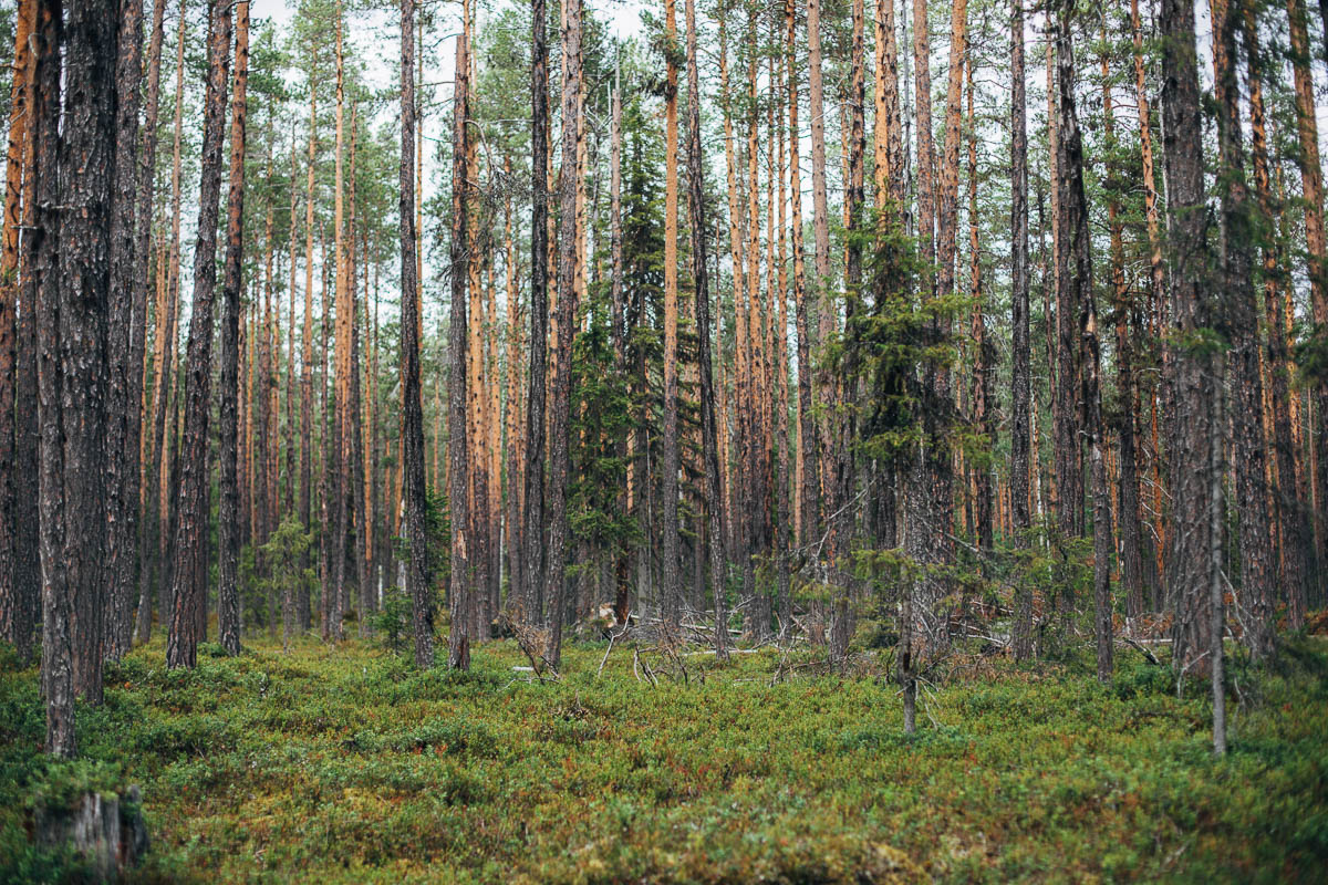 Muddus Nationalpark | Lappland | Sverige | nationalparker i Sverige |