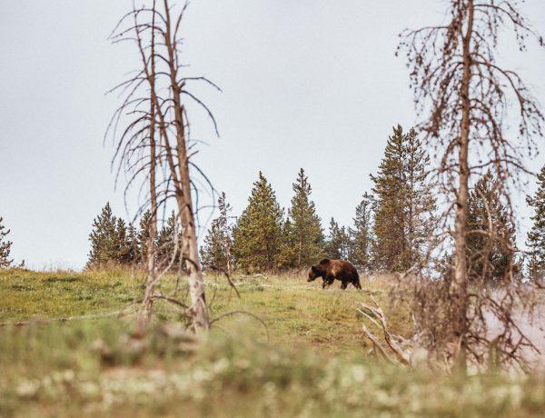 Grizzlybjörn Yellowstone